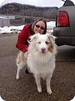 Australian Shepherd Dog for adoption in La Crosse, Wisconsin - Duke