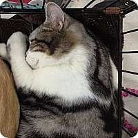 Adopt A Pet :: Clooney - Beverly Hills, CA
