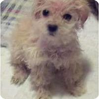 Adopt A Pet :: IZZY  URGENT - Bowie, TX