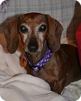 Dachshund Dog for adoption in Decatur, Georgia - Liebling