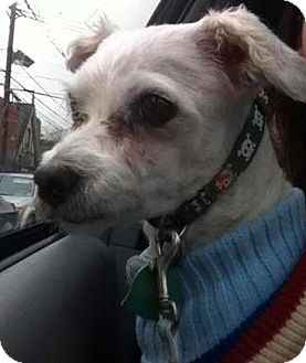 Maltese Dog for adoption in Astoria, New York - Newman