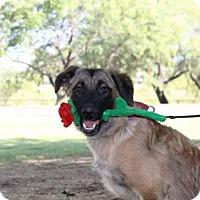 Belgian Malinois/Shepherd (Unknown Type) Mix Dog for adoption in Tucson, Arizona - Becca