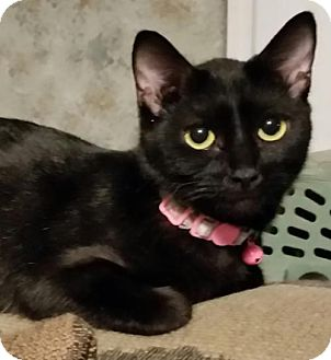 Domestic Shorthair Cat for adoption in Middleburg, Florida - ♥ Shireen ♥