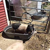 Pig (Farm) for adoption in Methuen, Massachusetts - MOON PIE
