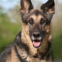 Adopt A Pet :: Stevia - Nashville, TN