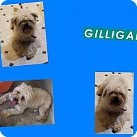 Adopt A Pet :: GILLIGAN - Plano, TX