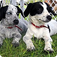 Adopt A Pet :: Sweetie - Honolulu, HI