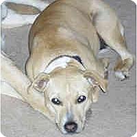 Adopt A Pet :: Scout - Gilbert, AZ