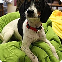 Adopt A Pet :: Snoopy - Hagerstown, MD
