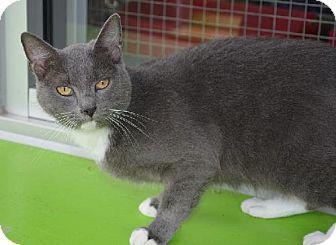 Russian Blue Cat for adoption in New Iberia, Louisiana - Mona