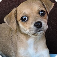 Adopt A Pet :: Sweet Pea - La Habra Heights, CA
