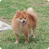 Adopt A Pet :: Dalton - Spring Hill, FL