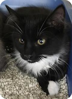 Domestic Mediumhair Kitten for adoption in Franklin, West Virginia - Leroy