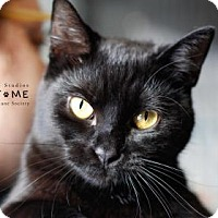 Domestic Shorthair Cat for adoption in Edwardsville, Illinois - Juniper