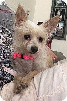 Norfolk Terrier Mix Dog for adoption in Apache Junction, Arizona - Cassie
