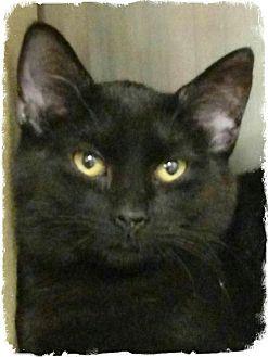 Domestic Shorthair Kitten for adoption in Pueblo West, Colorado - Toby