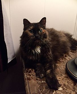 Calico Cat for adoption in Syracuse, New York - Luna and Sassy-Girl