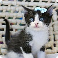 Adopt A Pet :: Badger - Montclair, CA