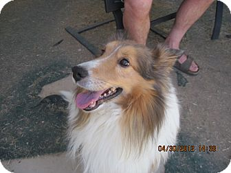 Sheltie, Shetland Sheepdog Dog for adoption in apache junction, Arizona - Buster