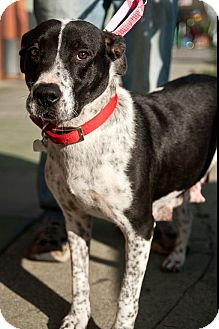 Labrador Retriever/Pointer Mix Dog for adoption in North Hollywood, California - Dottie