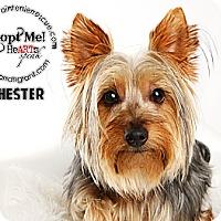 Adopt A Pet :: Chester - Omaha, NE