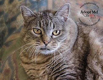 American Shorthair Cat for adoption in Belton, Missouri - Petunia