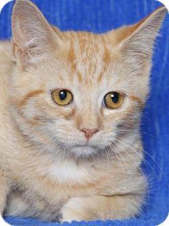 Domestic Shorthair Kitten for adoption in Gloucester, Virginia - PAPRIKA