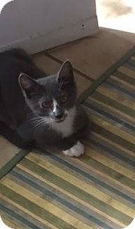 Domestic Shorthair Kitten for adoption in Plymouth Meeting, Pennsylvania - Tatum