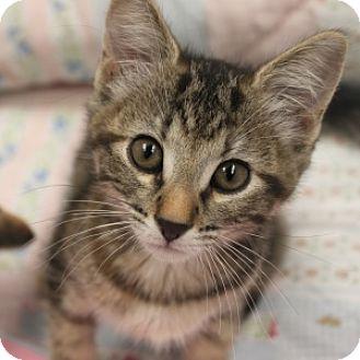 Domestic Shorthair Kitten for adoption in Naperville, Illinois - Skye