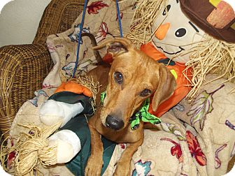 Dachshund Mix Dog for adoption in Marshall, Texas - Sprout