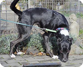 Border Collie/Italian Greyhound Mix Dog for adoption in Woodburn, Oregon - Amber