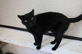 Domestic Shorthair Cat for adoption in Fremont, Ohio - Fizz-Gig