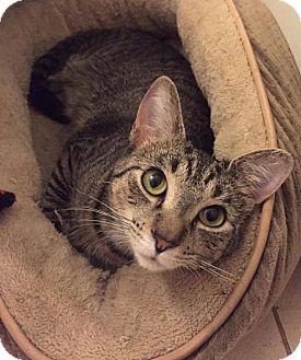 Domestic Shorthair Cat for adoption in Chicago, Illinois - nikki