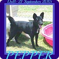 Adopt A Pet :: PEPPER - Manchester, NH