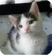 Domestic Shorthair Kitten for adoption in Catasauqua, Pennsylvania - Gypsy