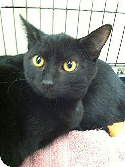Domestic Shorthair Kitten for adoption in Riverhead, New York - Jax