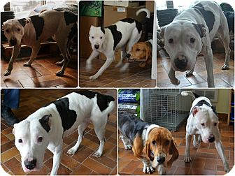 American Pit Bull Terrier Mix Dog for adoption in Montreal, Quebec - Cali