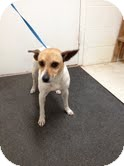 Jack Russell Terrier Mix Dog for adoption in Lancaster, Virginia - Randy