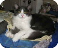 Domestic Mediumhair Cat for adoption in Alamo, California - Izzy