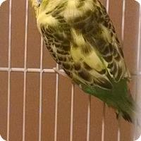 Adopt A Pet :: Nala - Lenexa, KS