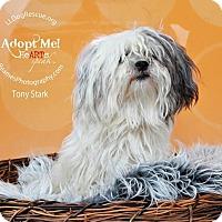 Adopt A Pet :: Tony Stark - Shawnee Mission, KS