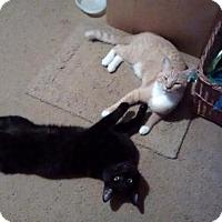 Adopt A Pet :: Tiger And Oreo - Harrisonburg, VA