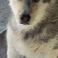 Adopt A Pet :: Aero aka Zeus - Las Vegas, NV