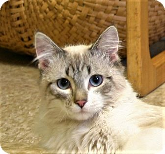 Ragdoll Cat for adoption in Hastings, Nebraska - Rags