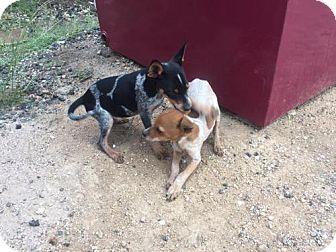 Lancashire Heeler Dog for adoption in Del Rio, Texas - Blue
