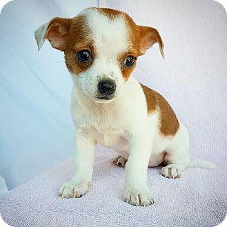 Dachshund/Chihuahua Mix Puppy for adoption in Fredericksburg, Texas - Hermione