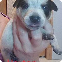 Adopt A Pet :: Jerrica Pup - Haxton - Clear Lake, IA