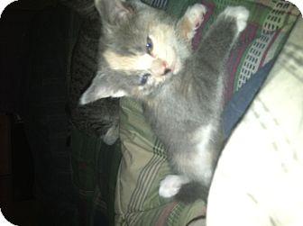 Domestic Shorthair Cat for adoption in Clay, New York - OLDER KITTEN'S