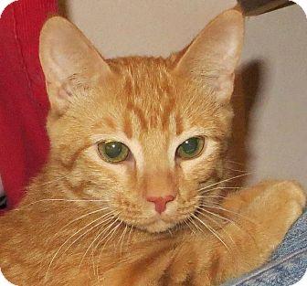 Domestic Shorthair Cat for adoption in Edmond, Oklahoma - Mitsy
