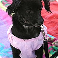 Adopt A Pet :: Storey - Santa Monica, CA